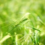 Młody zielony jęczmień